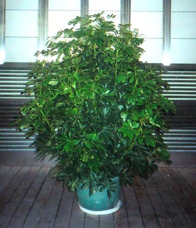 鸭掌木对生长环境要求不高
